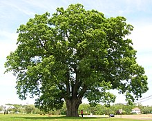 Keeler Oak Tree - distance photo, May 2013.jpg