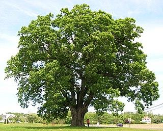 <i>Quercus alba</i> species of plant