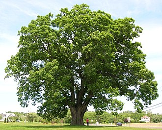 Quercus alba - A large white oak in New Jersey