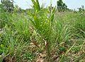 Kelapa sawit baru ditanam (26).JPG