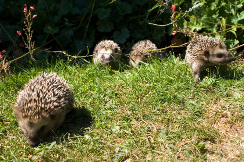 Bestand:Keqs young european hedgehogs1.jpg