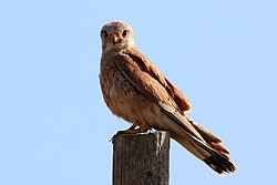 Kestrel (Falco tinnunculus) female.jpg