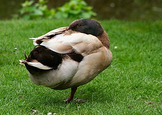 breed of domesticated duck