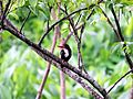 King Fisher on a tree.jpg
