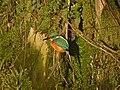 Kingfisher (Alcedo atthis) - geograph.org.uk - 1036212.jpg