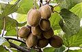 Kiwifruits - Kivi 02.jpg