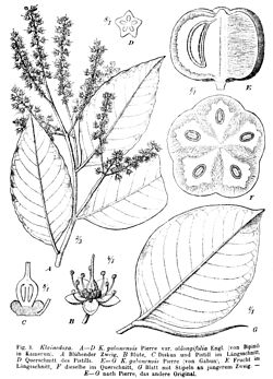 Klainedoxa gabonensis00.jpg