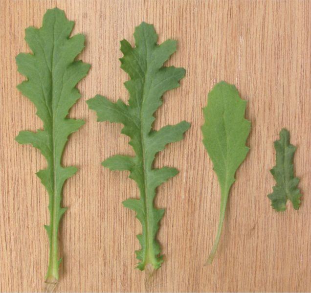 File:Klein kruiskruid bladeren (Senecio vulgaris leaves).jpg