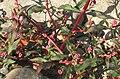 Knöterich Blätter und Blüten.jpg