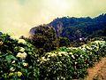 Kodaiflowers.jpg