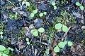 Korina 2017-04-17 Impatiens parviflora.jpg