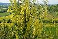 Korina 2017-05-18 Laburnum anagyroides 1.jpg