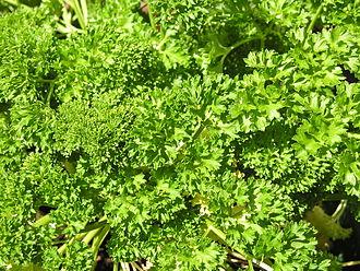 Fines herbes - Image: Krause Petersilie dichtwachsend