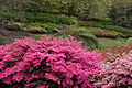 Kurume Azaleas - National Rhododendron Gardens, Olinda, Victoria Australia (6225537549).jpg