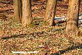 Kvetoucí sněženky v PP Sněženky ve Vysokém lese 54.jpg