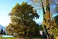 La quercia trecentenaria.jpg