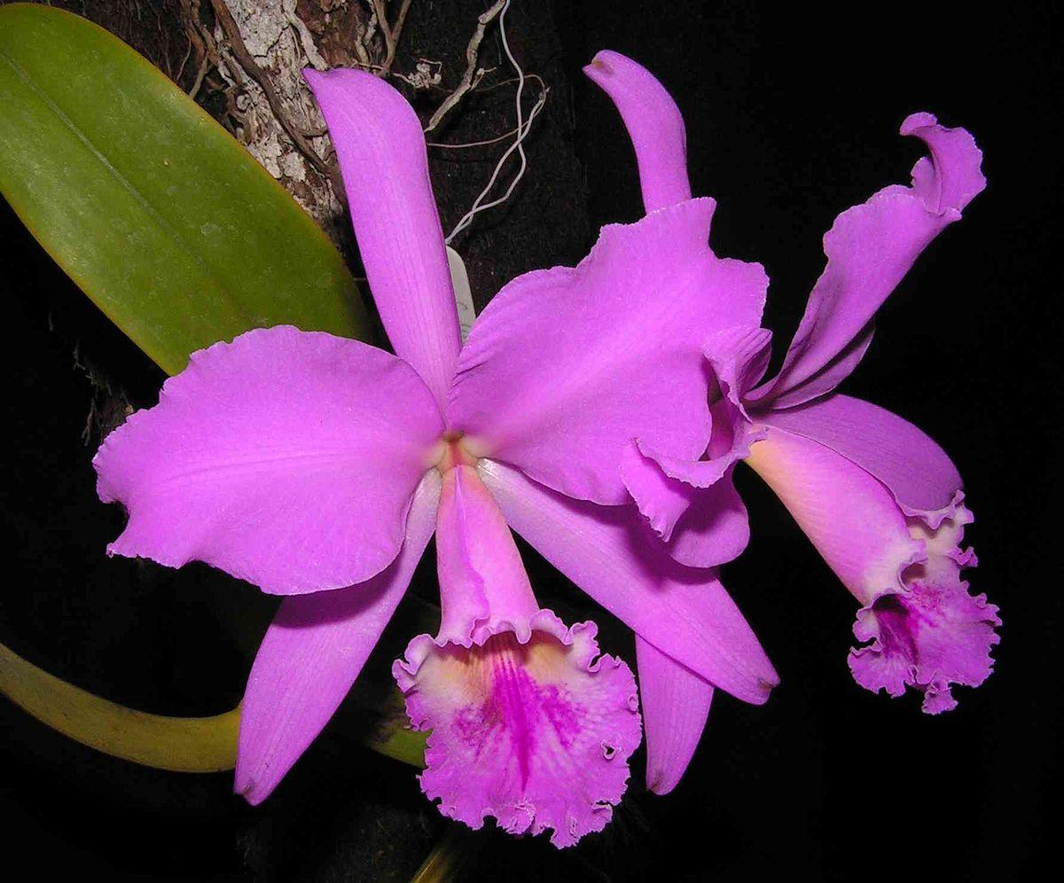 Cattleya wikipedia for Cuidado de las orquideas moradas