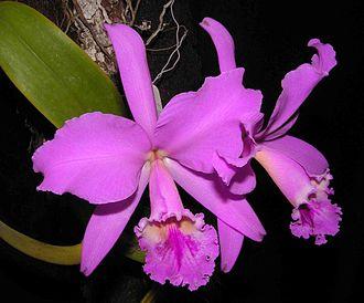 Cattleya labiata - Cattleya labiata