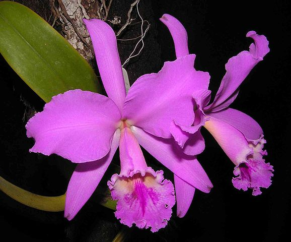 File wikimedia commons - Clases de flores y sus nombres ...