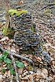 Landschaftsschutzgebiet Vorholzer Bergland - Wenser Berg - Baumpilz.JPG