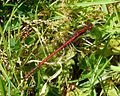 Large Red Damselfly. Pyrrhosoma nymphula. - Flickr - gailhampshire (1).jpg