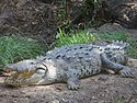Large american crocodile.jpg
