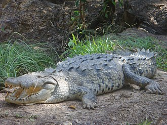 American crocodile - Adult American crocodile