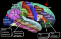 Lateral surface - Superior frontal gyrus.png