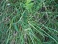 Lathyrus latifolius L. (AM AK298959-2).jpg