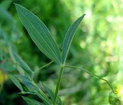 Lathyrus pratensis W.jpg