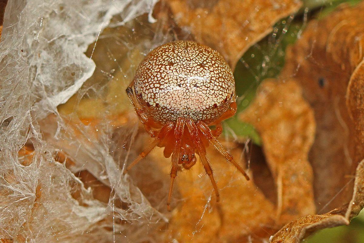 Lattice Orb Weaver (Araneus Thaddeus)