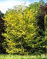 Lederhülsenbaum Queen-Auguste-Victoria-Park (Umkirch) jm30177.jpg