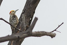 Leiopicus mahrattensis (Picidae) (Yellow-crowned Woodpecker), Keoladeo Ghana NP, India.jpg