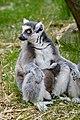 Lemur (26618459477).jpg
