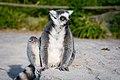 Lemur (33553767770).jpg