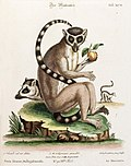 The ring-tailed lemur was one of the first lemurs to be classified by Carl Linnaeus in 1758.