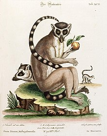 An old drawing of a ring-tailed lemur seated eating fruit, along with a profile view of the head and body.
