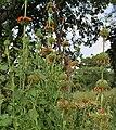 Leonotis nepetifolia (Deepmal) in Narshapur, AP W2 IMG 1166.jpg