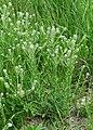 Lepidium campestre kz13.jpg