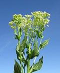 Lepidium draba flowerhead2 ST (15689676952).jpg