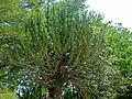 Lesser Candelabra-tree (Euphorbia cooperi) (11465327874).jpg