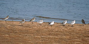 Lesser sand plover - Lesser sand plovers with sanderlings in Chilika, Odisha, India