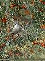 Lesser Whitethroat (Sylvia curruca) (23706912061).jpg