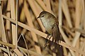 Lesser swamp warbler, Acrocephalus gracilirostris, at Marievale Nature Reserve, Gauteng, South Africa (40722474250).jpg