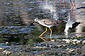 Lesser yellowlegs (Tringa flavipes).JPG