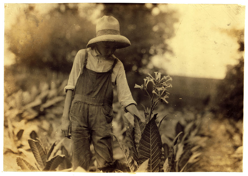 File:Lewis Hine, George Barbee, 13 years old topping, Nicholas County, Kentucky, 1916.jpg