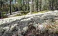 Lichen is available, only the reindeer is missing. - panoramio.jpg