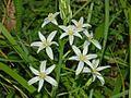 Liliaceae - Ornithogalum narbonense (1).JPG