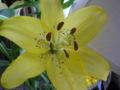Lilium canadense.JPG