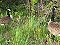 Lillie and i saw them on the way back from Harvard Square - panoramio.jpg